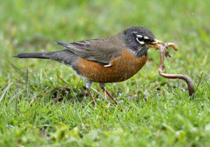 bird-worm-2_2141752i